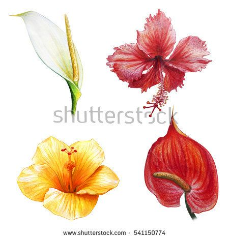 Big Beautiful Tropical Flowers Drawing Anthurium And Hibiscus Anthurium Flower Flower Drawing Hibiscus Bush