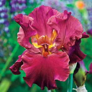 Buy Code Red Bearded Iris Sun Perennials Sale Breck S In 2020 Iris Flowers Bearded Iris Iris