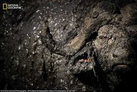 Bathtime for you! Chris Schmid found an African Buffalo covered in mud  in the…