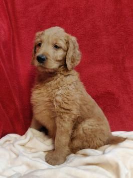 Sold Goldendoodle Puppies Lancaster Puppies Puppies