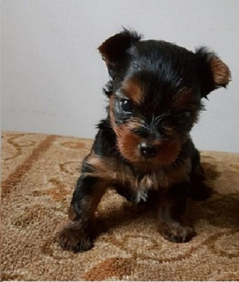 Yorkshire Terrier Puppy For Sale In Washington Dc Adn 31595 On