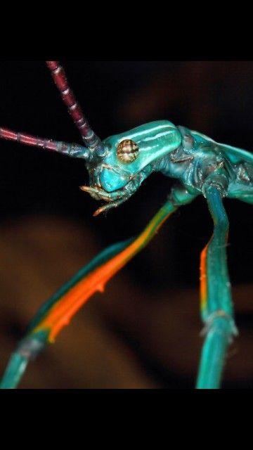 Achrioptera Fallax Phasme Epis De Mais