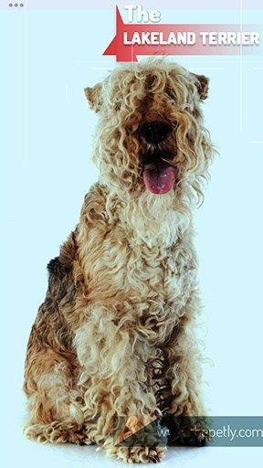 17 Dogs That Don T Shed Much Ultimate Guide For Dog Owners Dogs Lakeland Terrier Hypoallergenic Dog Breed