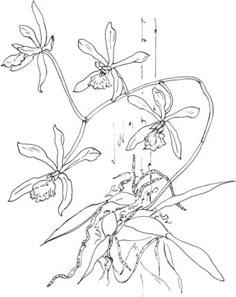Epidendrum Tampense Or Butterfly Orchid Coloring Page Orchids Flower Coloring Pages Coloring Pages