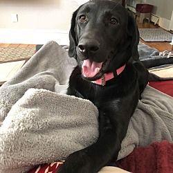 Oak Ridge New Jersey Labrador Retriever Meet Lola A For Adoption Https Www Adoptapet Com Pet 21820445 Oak R Labrador Retriever Black Labs Dogs Lab Dogs