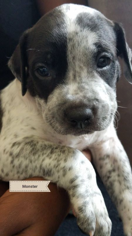 Houston Tx Monster 2 Is A Male Pointer Australian Cattle Dog Blue He Australian Cattle Dog Mix Australian Cattle Dog Blue Heeler Australian Cattle Dog Puppy