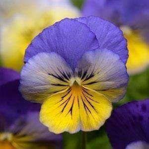 Pansies Meaning Pansies Meaning Flowers Pansies In Containers Pansies Ore Wo Suki Pansies Anime Pansies Leaf Pansies Garden Pa In 2020 Pansies Flowers Pansies