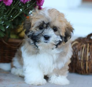 Home Page For Timbercreek Puppies Shihpoo Puppies For Sale Home Shih Tzu Dogs For Adoption Near Woodland Cal In 2020 Shichon Puppies Puppies Near Me Puppies For Sale