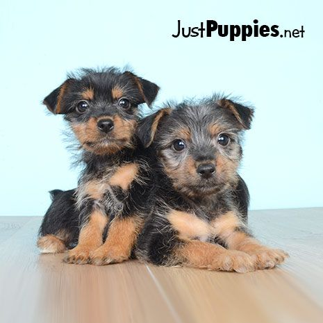 Puppies For Sale Orlando Fl Justpuppies Net With Images Puppies Yorkie Puppy Puppies For Sale