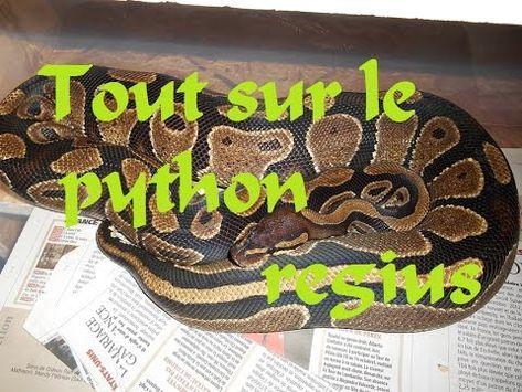 tout sur le python regius partie 1 elevage, nourrissage etc..   Python,  Aquarium terrarium, Terrarium