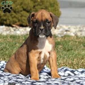 Lauren Boxer Puppy For Sale In Pennsylvania In 2020 Boxer