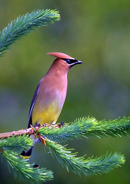 This Cedar Waxwing is so beautiful (Bombycilla Cedrorum). They are primarily frugivorous . . . a fruit eater! Most of its diet is made up of berries, especially in the winter. They will eat insects and sap when necessary. Cedar Waxwings are very social birds and can be seen grooming each other.