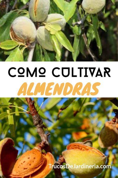 Como Cultivar Almendras Cultivo De árboles Frutales Cultivo De Hortalizas Jardín De Productos Comestibles