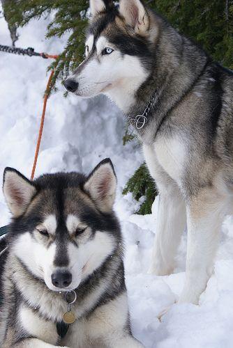 Siberian Huskies With Images Siberian Husky Dog Breeds Malamute Husky