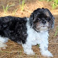 Hagerstown Md Shih Tzu Meet Doodah A Dog For Adoption Shih