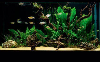 Nano Aquascape With Freshwater Fish Tetras | Aquariums And Fish | Pinterest  | Freshwater Aquarium, Aquariums And Freshwater Aquarium Fish