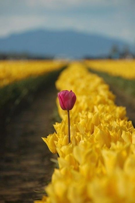 Touch of read in a yellow field of tulips
