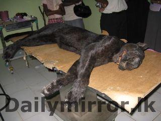 A Black Tiger Found In Sri Lanka Black Tigers Melanistic Sri