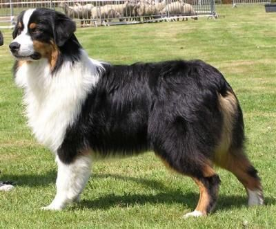 Tri Color Australian Shepherd Would Be A Nice Addition To Our Blue Merle Australianshepherdminiature Australian Shepherd Australian Shepherd Dogs Girl And Dog