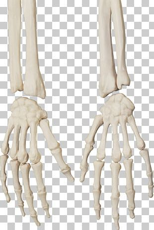 Pin By Jiyi 1 Reference On Anatomy Skeleton In 2021 Human Skeleton Bones Skeleton Arm Human Skeleton