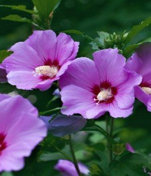 Rose Mallow St Joseph S Rod Scientific Name Hibiscus Syriacus Plant Type Perennial Blooming Summer Purple Flower Names Flower Names Hibiscus Plant