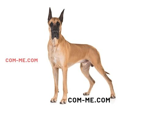 World S Top 10 Largest Dogs Giant Dog Breed Representative