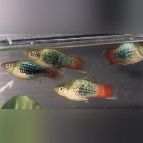 Neon Red Tail Platy Neon Red Tailed