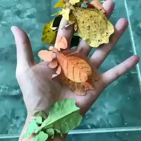 These colorful walking leaves