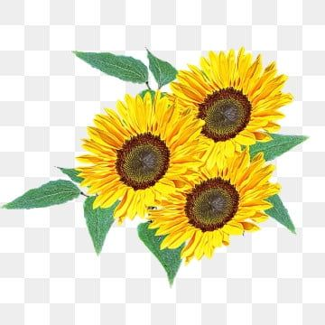 Lindo Girassol Material Design Sunflower Png Watercolor Flower Background Flower Painting