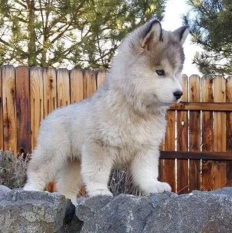 Siberian Husky That little nose! Siberian Husky That little nose! Cute Husky Puppies, Puppy Husky, Siberian Husky Puppies, Rottweiler Puppies, Siberian Huskies, Huskies Puppies, Pomeranian Husky, Cute Baby Husky, Siberian Husky Facts