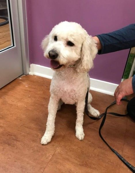 Poodle And Bichon Frise Mixed Dog For Adoption In Richmond