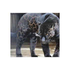 Create Your Own Stretched Canvas Print Zazzle Com Animals Beautiful Melanistic Animals Animals