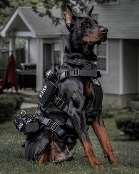 A vamped up armor based on our best selling POWER TRAIN harness with an adjustable front chest piece to offer a snug fit, maximized mobility, and zero sliding with or without MOLLE pouches! Doberman Pinscher Dog, Doberman Dogs, Dobermans, Blue Doberman, Doberman Shepherd, Big Dogs, Cute Dogs, Dogs And Puppies, Tactical Dog Harness