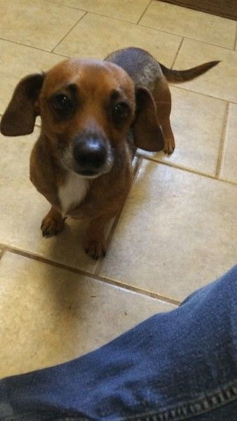 Dachshund Dog For Adoption In Jasper Georgia Chucky In Jasper