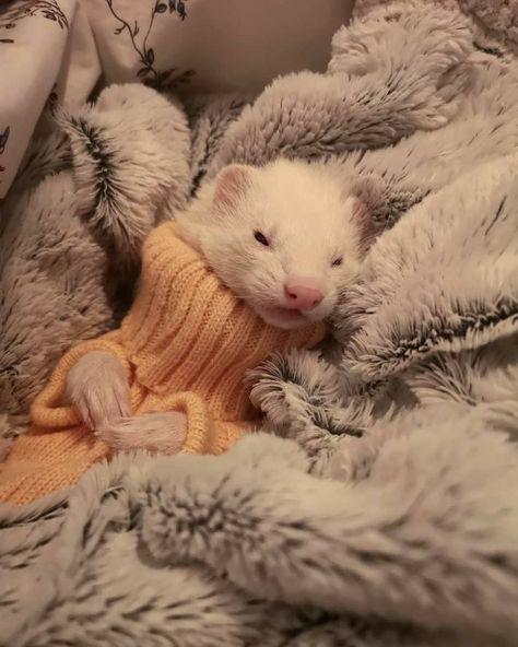 Baby Ferrets, Funny Ferrets, Pet Ferret, Pretty Animals, Cute Little Animals, Cute Funny Animals, Animals Beautiful, Cute Animal Photos, Animal Pictures