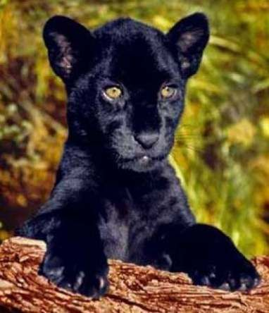 Baby Black Panther Tattoo 19 Best Ideas Tattoo Baby Baby Cats