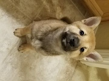 Litter Of 5 Shiba Inu Puppies For Sale In Lancaster Ca Adn 61987