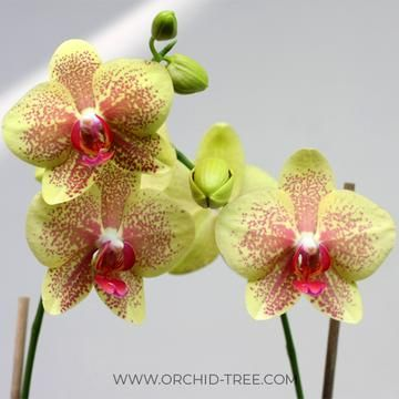 Phalaenopsis Pulsation Orchid Flower Orchid Tree Orchids