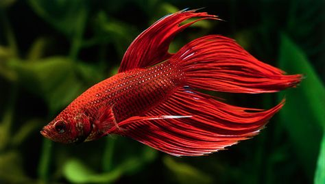 Betta Fish Betta Fish Tanks Food And More Petsmart Natgeo Ikan Cupang Ikan