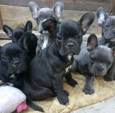 Awesome French Bulldog Puppies Available For Sale Frenchieforsale Frenchie4sale Frenchbulldogforsale F French Bulldog Breed French Bulldog Bulldog Puppies