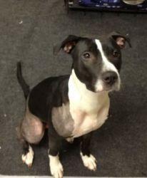 Adopt Faith On Animals Pitbull Boxer Black White Pitbull