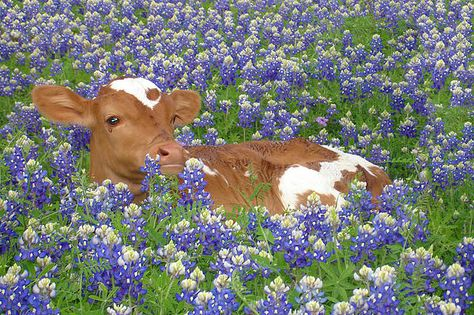 Longhorn And Blue Bonnets by Kiersten Stephens - Longhorn And Blue Bonnets by Kiersten Stephens Texas Hill Country in Spring Farm Animals, Animals And Pets, Funny Animals, Wild Animals, Beautiful Creatures, Animals Beautiful, Fluffy Cows, Baby Cows, Baby Elephants