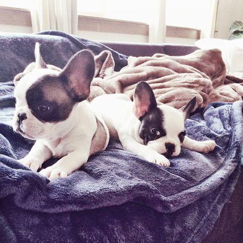 tiny french bulldog puppies