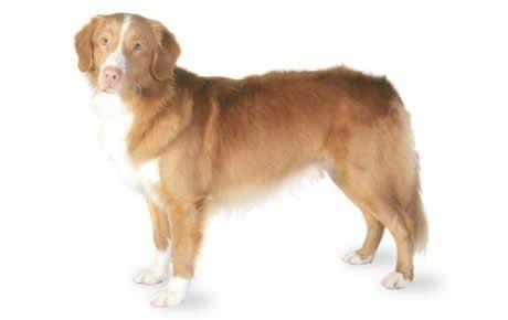 Nova Scotia Duck Trolling Retriever Dog Breed Information Pictures Characteristics Facts Nova Scotia Duck Tolling Retriever Dog Breed Selector Dog Breeds
