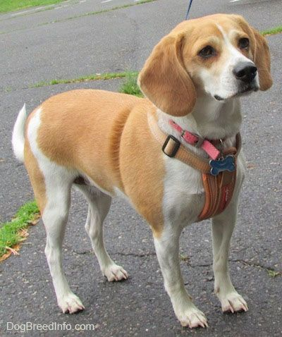 Emma The Beagle Wearing A Harness Standing On Blacktop Beagle