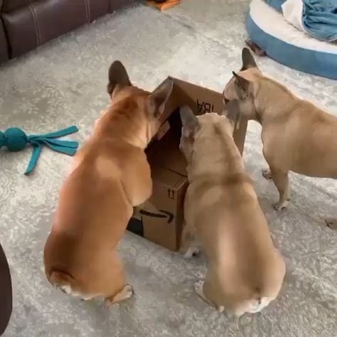 French Bulldog Lover Gifts ⚫⚫⚫ VISIT SITE TO LEARN MORE @ ThePetSupplyGuy.com  #thepetsupplyguy #pet #pets #animal #dog #dogs #puppy #puppies Video Credit: French Bulldogs Jumping into Box @beckford_bell on IG
