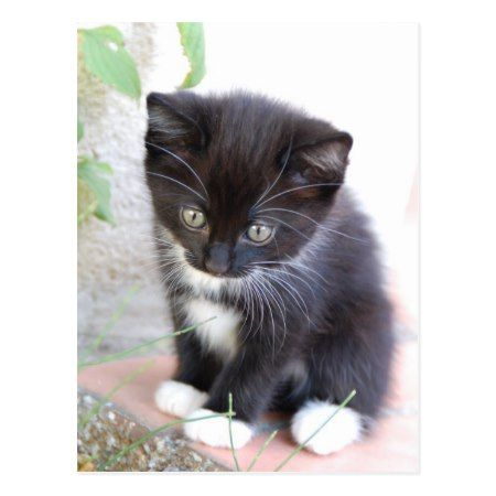 Black And White Kitten Postcard Zazzle Com In 2020 Black And White Kittens White Kittens Tabby Kitten
