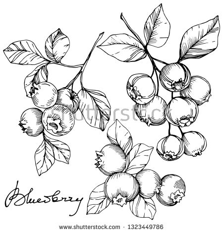 Stock Vector Vector Blueberry Black And White Engraved Ink Art
