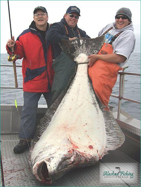 Alaskan Halibut | 9 Best Halibut Images On Pinterest Fishing Halibut And Halibut