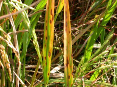 Brown Leaf Spot Rice Info How To Treat Brown Leaf Spot Of Rice Black Spot On Roses Perennial Flowering Vines Flowering Vines